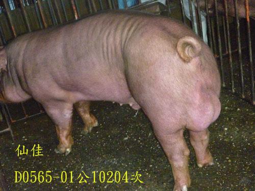 台灣區種豬產業協會10204期D0565-01側面相片