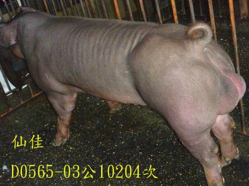 台灣區種豬產業協會10204期D0565-03側面相片