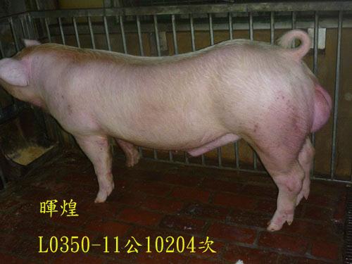 台灣區種豬產業協會10204期L0350-11側面相片