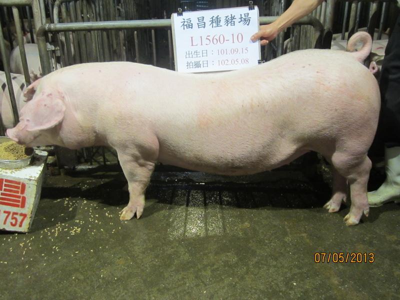 台灣區種豬產業協會10204期L1560-10側面相片