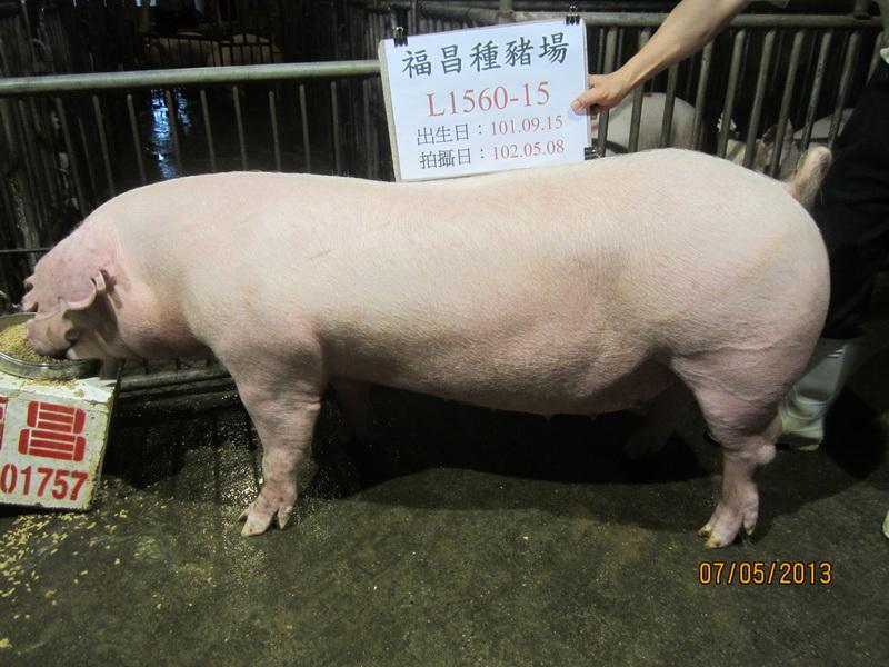 台灣區種豬產業協會10204期L1560-15側面相片