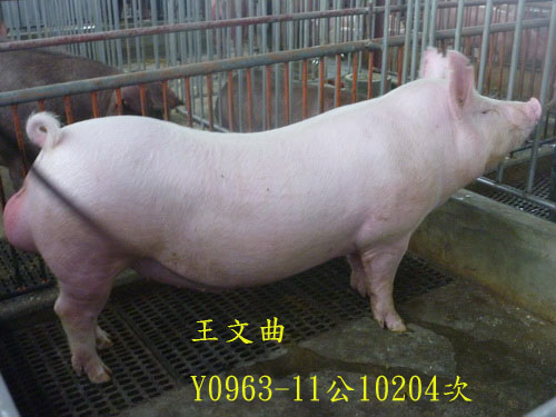 台灣區種豬產業協會10204期Y0963-11側面相片