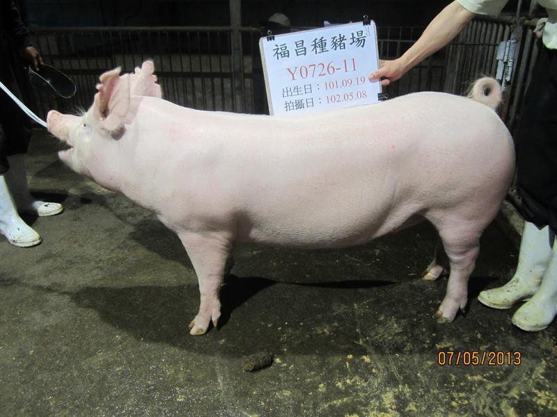 台灣區種豬產業協會10204期Y0726-11側面相片