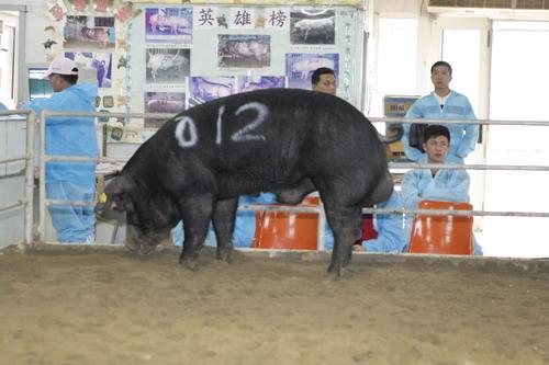 台灣動物科技研究所竹南檢定站10103期F0657-12拍賣相片(高價豬)