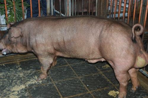 中央畜產會201210期D0880-02體型-全身相片