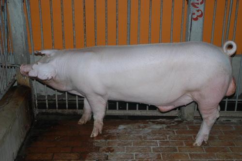 中央畜產會201210期L1558-05體型-全身相片