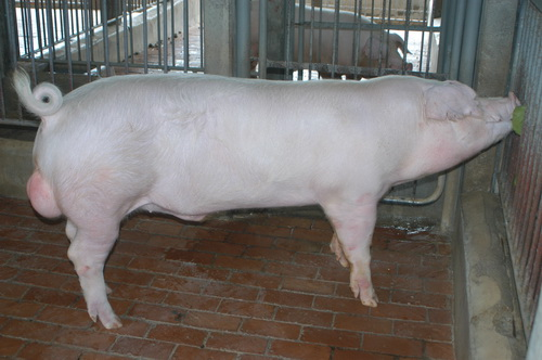 中央畜產會201211期L0718-06體型-全身相片