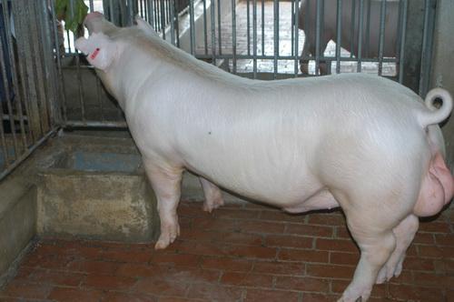 中央畜產會201211期L1580-04體型-全身相片