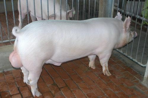 中央畜產會201211期Y1271-03體型-全身相片