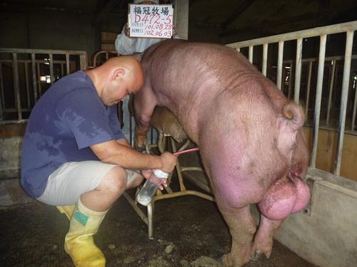 台灣區種豬產業協會10205期D0472-05採精相片