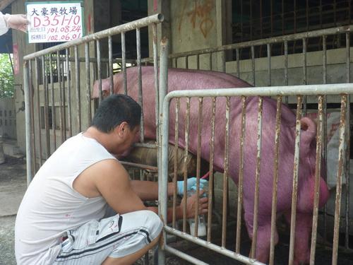 台灣區種豬產業協會10205期D0351-10採精相片