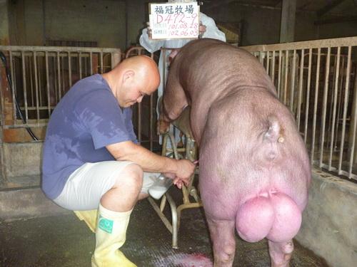 台灣區種豬產業協會10205期D0472-09採精相片