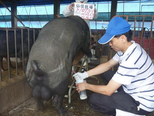 台灣區種豬產業協會10205期F1073-01採精相片