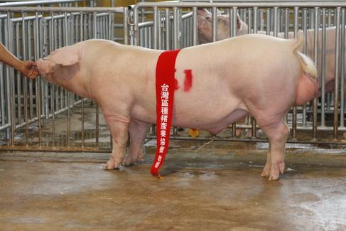 台灣區種豬產業協會10205期L1384-09拍賣相片(高價豬)