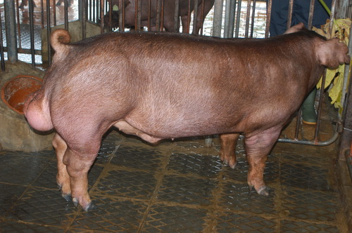 中央畜產會201301期D0516-04體型-全身相片