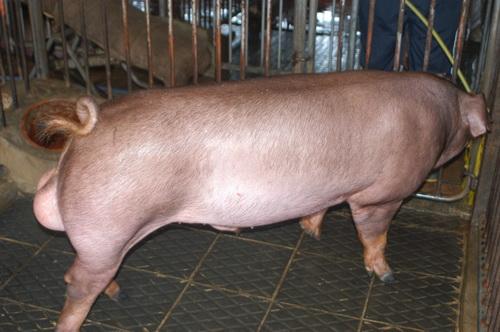 中央畜產會201301期D1157-05體型-全身相片