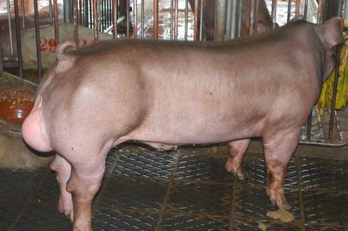 中央畜產會201301期D0606-03體型-全身相片