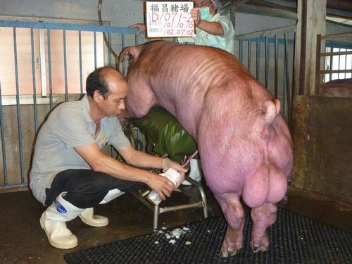 台灣區種豬產業協會10206期D1071-02採精相片