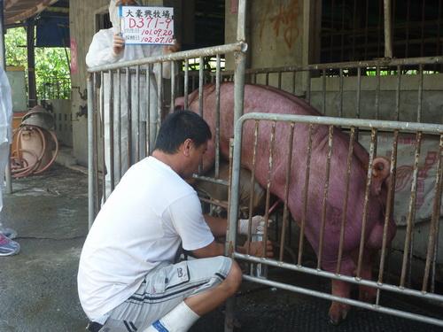 台灣區種豬產業協會10206期D0371-09採精相片