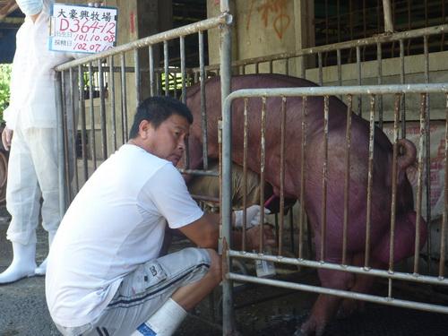 台灣區種豬產業協會10206期D0364-12採精相片