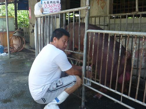 台灣區種豬產業協會10206期D0369-10採精相片
