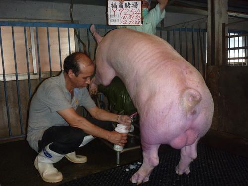 台灣區種豬產業協會10206期Y0725-04採精相片