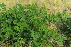 紫雲英Astragalus sinicus L.