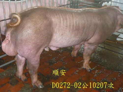 台灣區種豬產業協會10207期D0272-02側面相片