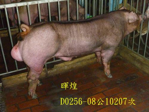 台灣區種豬產業協會10207期D0256-08側面相片
