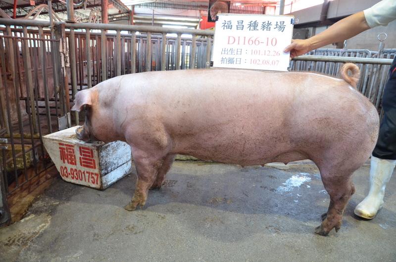 台灣區種豬產業協會10207期D1166-10側面相片