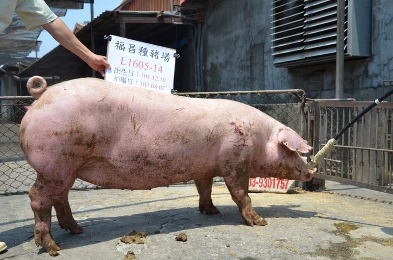 台灣區種豬產業協會10207期L1605-14側面相片