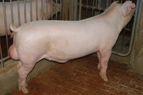 中央畜產會201303期L0456-12體型-全身相片