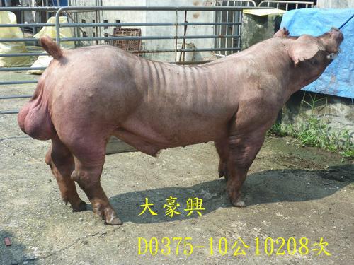 台灣區種豬產業協會10208期D0375-10側面相片