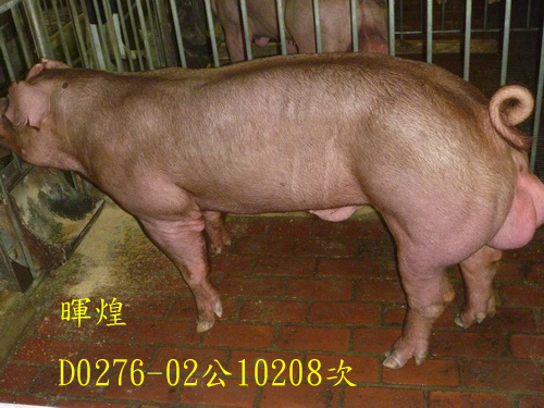 台灣區種豬產業協會10208期D0276-02側面相片