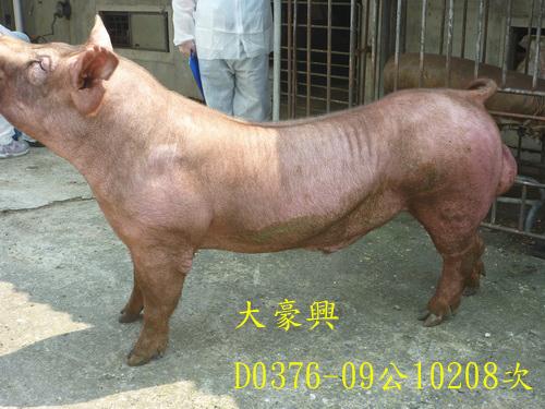 台灣區種豬產業協會10208期D0376-09側面相片
