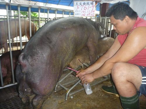 台灣區種豬產業協會10208期F0761-09採精相片