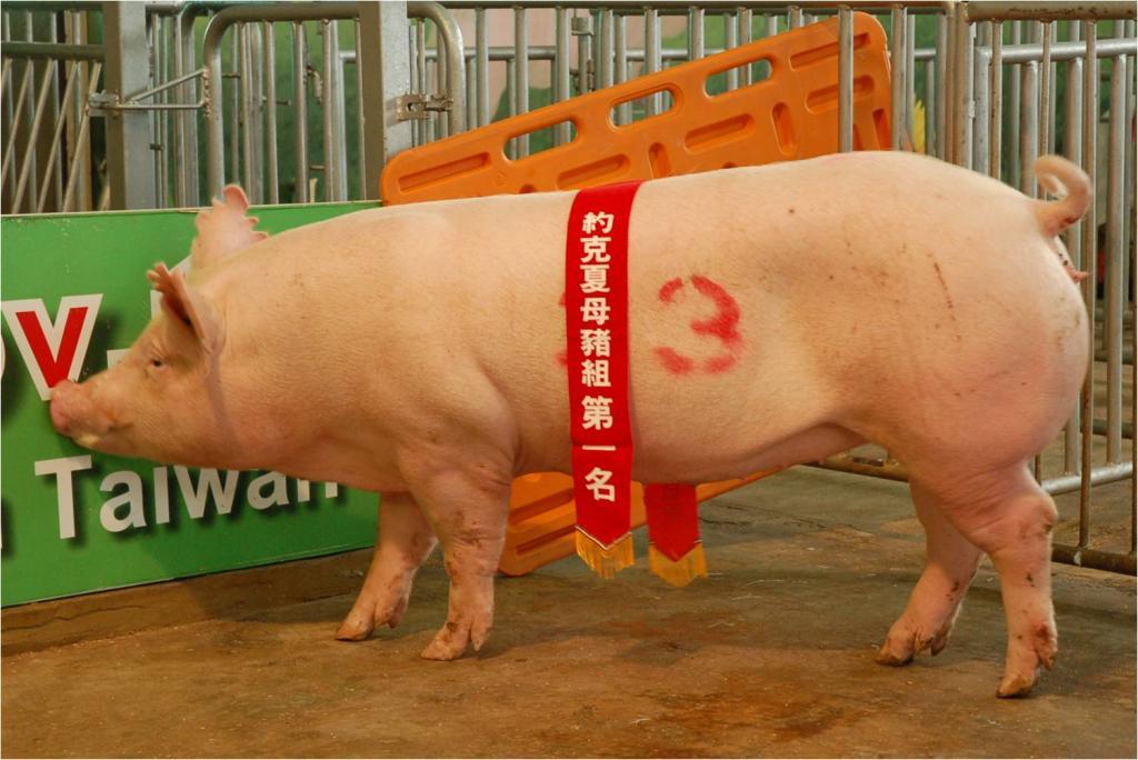 台灣區種豬產業協會10208期Y0756-12側面相片