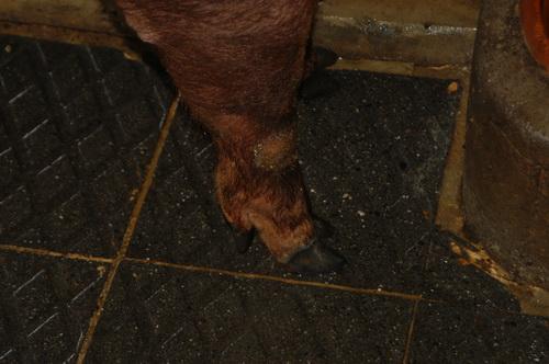 中央畜產會201304期D1268-03體型-四肢相片