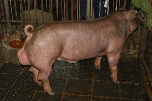 中央畜產會201304期D0743-02體型-全身相片