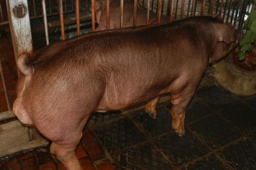 中央畜產會201304期D0532-01體型-全身相片