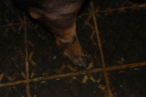 中央畜產會201304期D0532-04體型-四肢相片