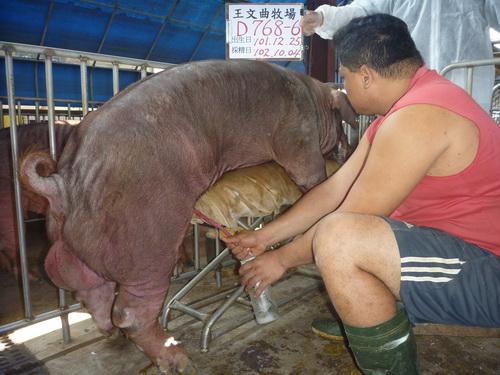 台灣區種豬產業協會10209期D0768-06採精相片