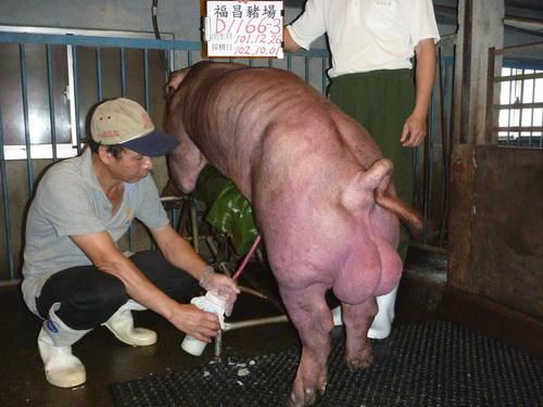 台灣區種豬產業協會10209期D1166-03採精相片