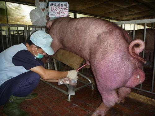 台灣區種豬產業協會10209期D0293-04採精相片