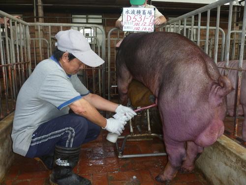 台灣區種豬產業協會10209期D0531-07採精相片