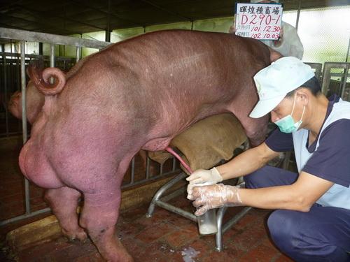 台灣區種豬產業協會10209期D0290-01採精相片