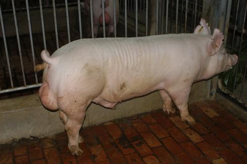 中央畜產會201304期Y0769-03體型-全身相片