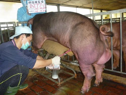 台灣區種豬產業協會10210期D0297-01採精相片