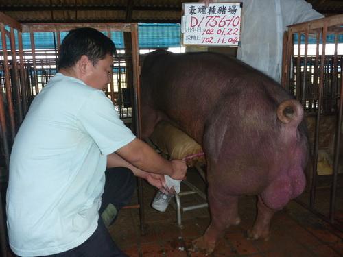 台灣區種豬產業協會10210期D1756-10採精相片