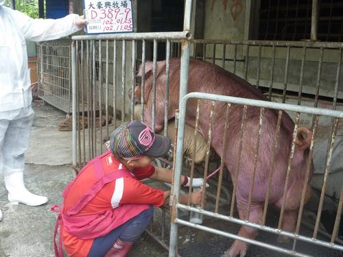 台灣區種豬產業協會10210期D0389-09採精相片